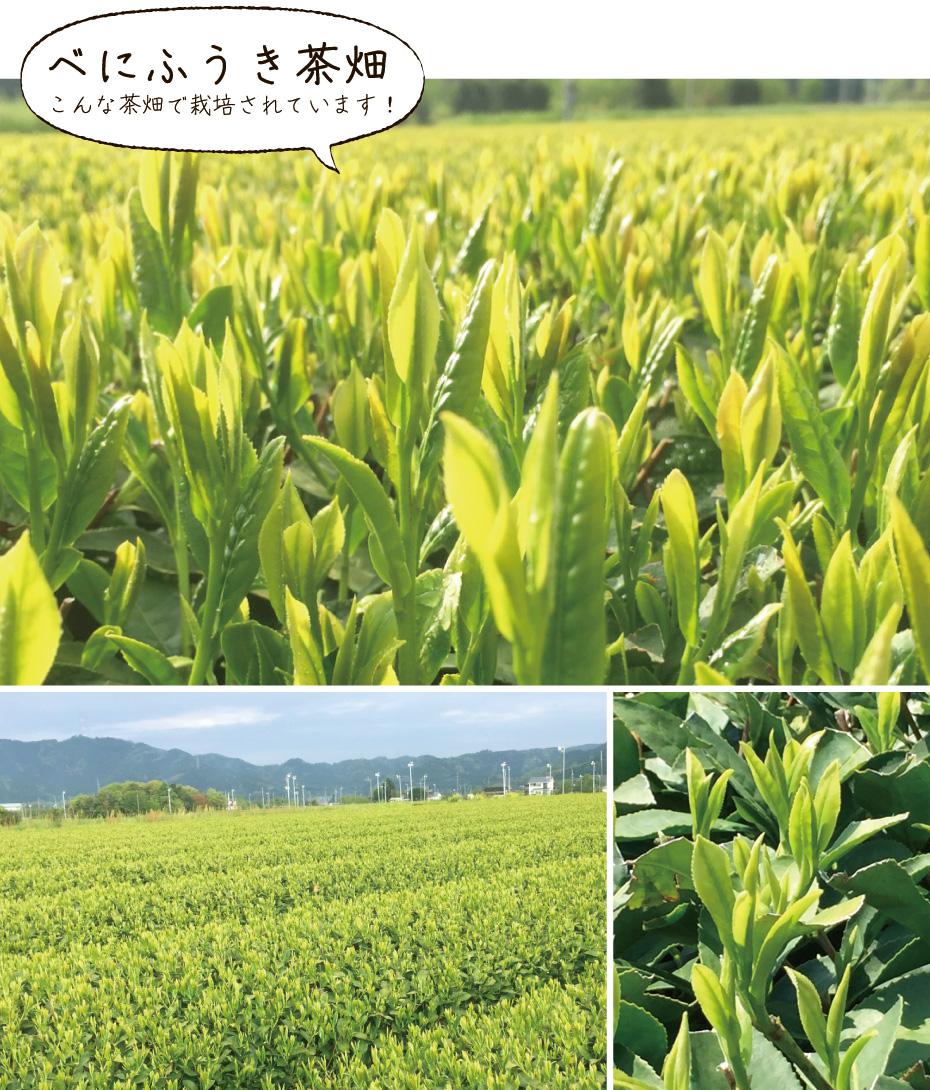 べにふうき茶畑