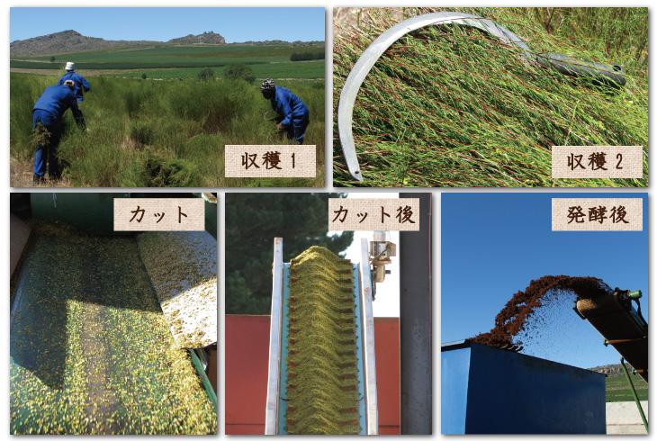 ルイボスの農園写真 収穫~発酵後